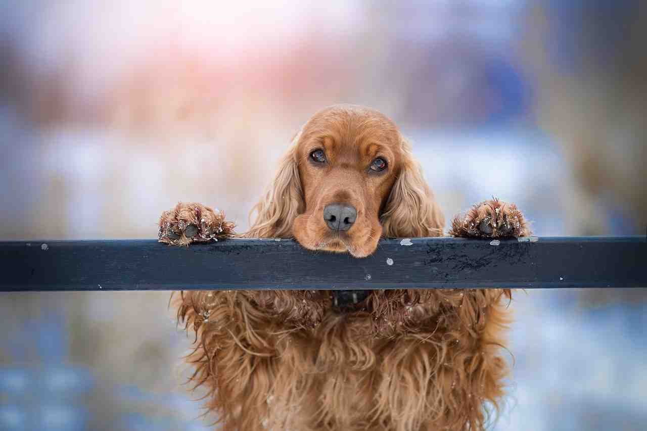 cocker spaniel, chien, animal de compagnie